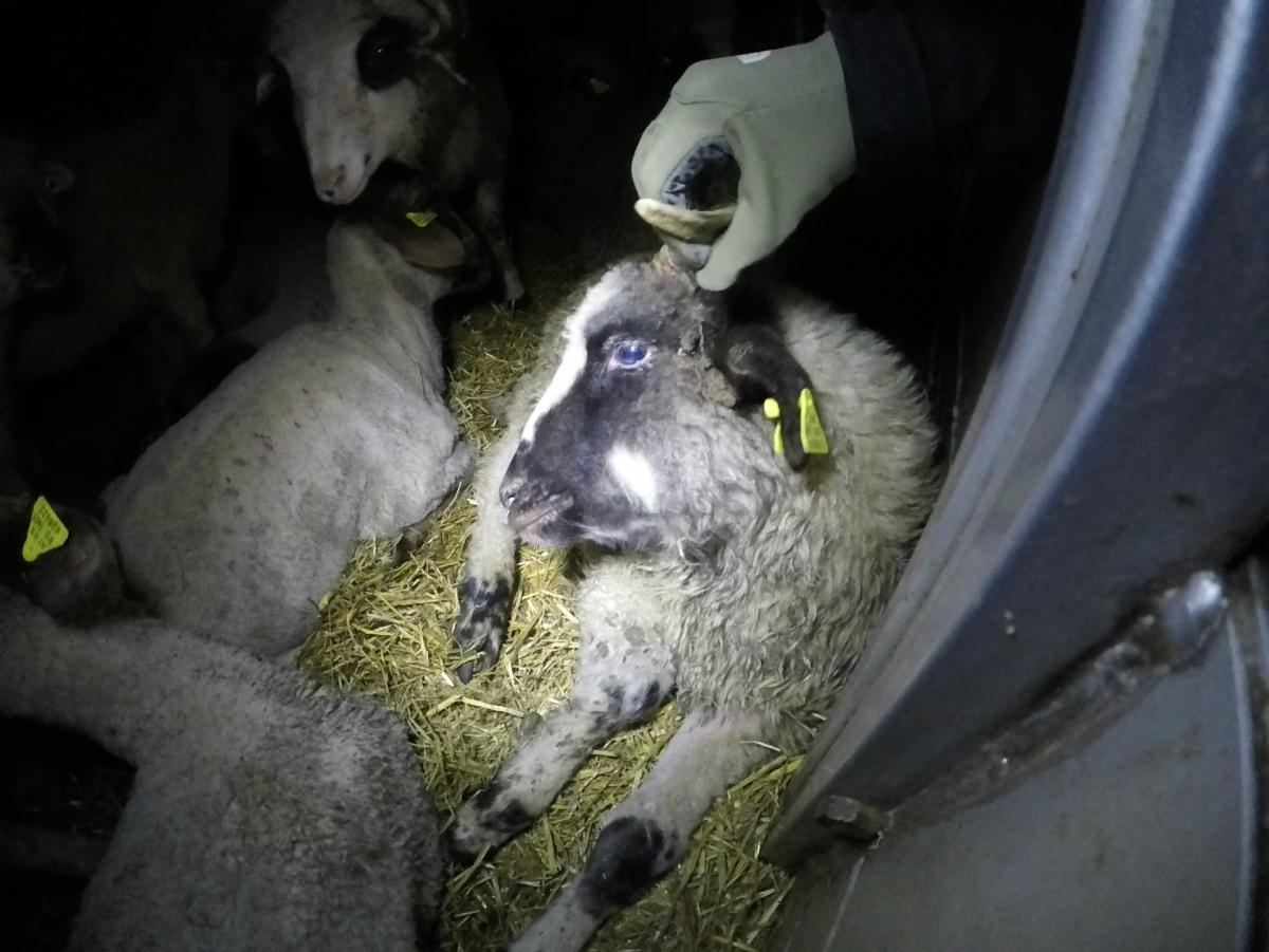 Downer lamb