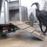 Unloading of a horse