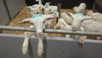 Little goat lambs