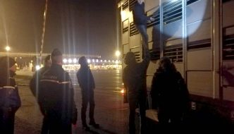 Mit Schafen beladener niederländischer Transporter aus Harlingen