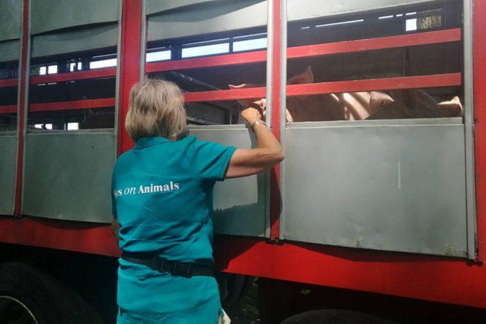 Inspectie varkenstransport bij hitte