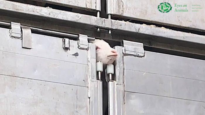 Jonge geit steekt hoofd uit truck tijdens transport