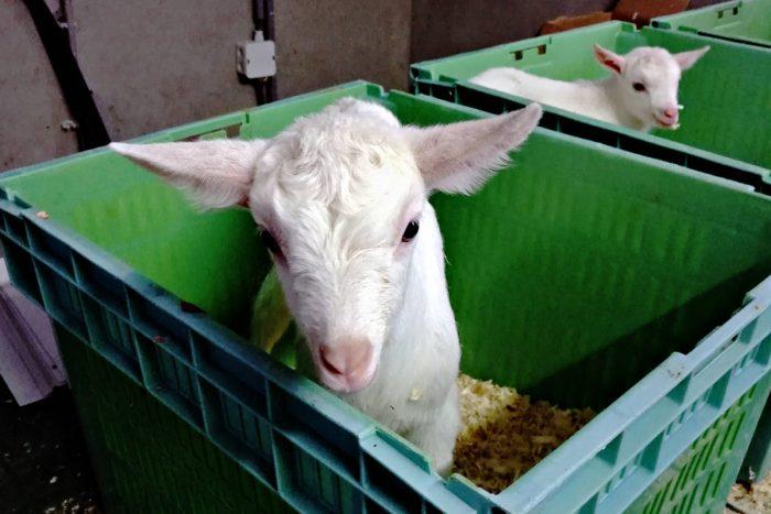 Shorter waiting times for medication goat kids
