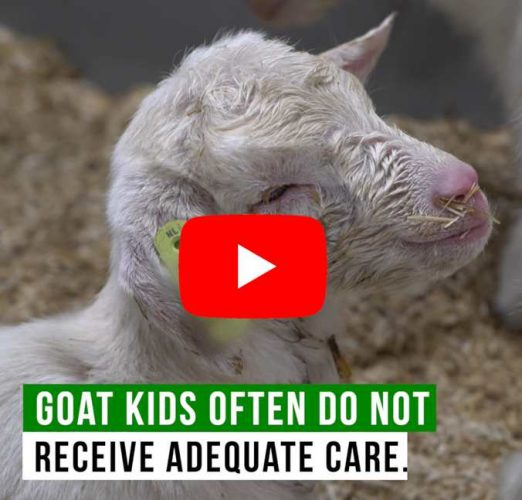 Goat kids video screenshot